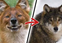 9 Most Beautiful Dog Breeds that Look like Wolves