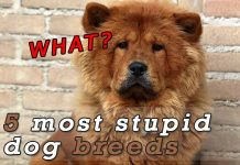 The 5 Least intelligent dog breeds1