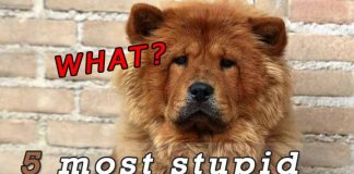 The 5 Least intelligent dog breeds1