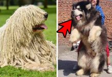 Top 5 Enormous Guard Dog Breeds You Wish You Could Own